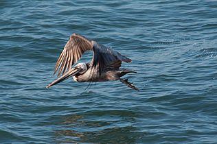 Pelican 4933.jpg