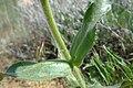 Penstemon eriantherus var. whitedii 2.jpg