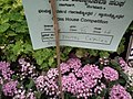 Pentas Cornia from Lalbagh flower show Aug 2013 8258.JPG