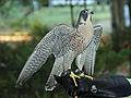 Peregrine Falcon RWD at CRC.jpg