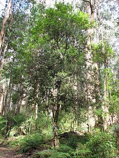 <i>Persoonia arborea</i> species of plant