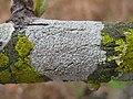 Pertusaria pustulata (Ach.) Duby 210127.jpg