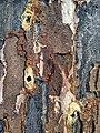 Phaenops cyanea - wood with boring signs.jpg