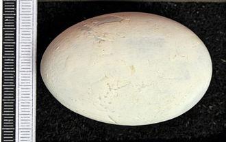 Great cormorant - Egg, Collection Museum Wiesbaden