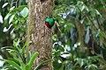 Pharomachrus mocinno Monteverde 21.jpg