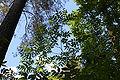 Phellodendron japonicum foliage.JPG