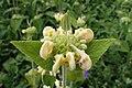 Phlomis russeliana kz4.jpg