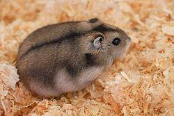 Un hamster russe de couleur sauvage, ou agouti