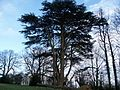 Photo cedrus atlantica.jpg