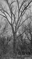 Photograph of Cottonwood Trees - NARA - 2129624.tif