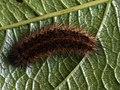 Phragmatobia fuliginosa (larva) - Ruby tiger (caterpillar) - Толстянка бурая (гусеница) (26991010248).jpg