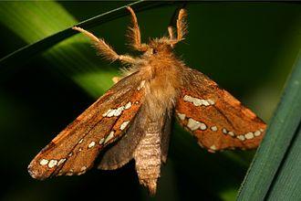 Phymatopus - Phymatopus hecta