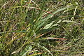 Phyteuma persicifolium (Teufelskralle) IMG 6766.JPG