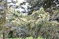Picea pungens - City Park in Lučenec (2).jpg