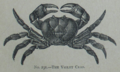 Picture Natural History - No 231 - The Violet Crab.png