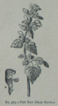 Picture Natural History - No 373 - The Red Dead Nettle.png