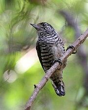 Picumnus cirratus - Ibera Marshes