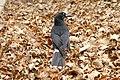 Pied currawong02 - strepera graculina.jpg