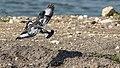 Pied kingfisher (Ceryle rudis) 2.jpg