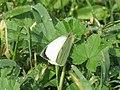Pieris brassicae (13576881835).jpg