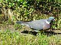 Pigeon ramier à terre Périgueux (1).JPG