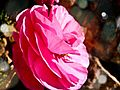 PikiWiki Israel 29596 Pink Rose.jpg
