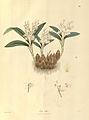 Pinalia leucantha as Eria alba - Nathaniel Wallich - Plantae Asiaticae Rariores - vol. II plate 197 (1831).jpg