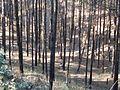 Pine forest in Katuka.jpg