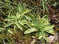 Pinguicula vulgaris 140706.JPG