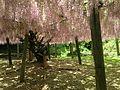 Pink wisteria in Kawachi Wisteria Garden 20150509-5.JPG
