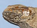 Pinnidae - Atrina pectinata.JPG