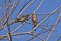 Pintarroxo (Linaria cannabina) Female and male (51046591162).jpg