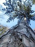 Pinus nigra (1111) 19.JPG