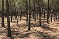 Pinus pinaster, Embalse de los Bermejales, Andalusia, Spain.jpg