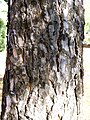 Pinus pinea trunk 2009-11-22 DehesaBoyaldePuertollano.jpg