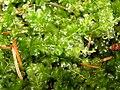 Plagiomnium affine 2005.08.22 11.21.37-p8220145.jpg