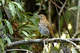Plain-backed thrush, Mishmi Hills, Arunachal Pradesh, India.jpg