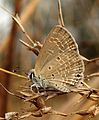 Plains Cupid Chilades pandava UN DSF Bhopar by Dr. Raju Kasambe DSCN7752 (2).jpg
