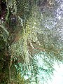 Platycladus orientalis at Nagarjun Garden, Akola7.jpg