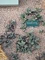 Pleiospilos peersii (Jardin des Plantes de Paris).jpg