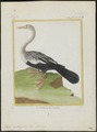Plotus anhinga - 1700-1880 - Print - Iconographia Zoologica - Special Collections University of Amsterdam - UBA01 IZ18000021.tif
