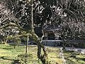 Plum trees and Boshizo Hall in Dazaifu Temman Shrine.jpg