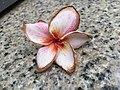 Plumeria frangipani pink.jpg