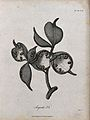 Pods and seeds of a Sterculia plant. Line engraving by C. He Wellcome V0043194.jpg
