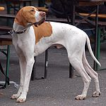 Pointer angielski LM.jpg