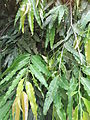 Polyalthia longifolia var.pendula-1-anna park-yercaud-salem-India.JPG