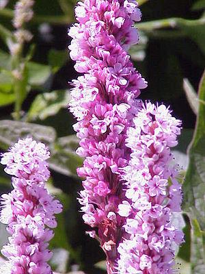 Persicaria affinis - Image: Polygonum affine 2