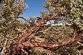 Polylepis Tarapacana branch 2.jpg