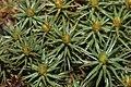 Polytrichum juniperinum (a, 153135-482344) 7063.jpg