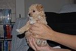 Poodle - Jack Russell Terrier (2782893427).jpg